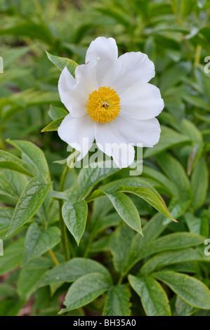Himalayan peony (Paeonia emodi) - Stock Photo