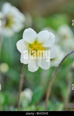 Mountain avens (Dryas x suendermannii) - Stock Photo