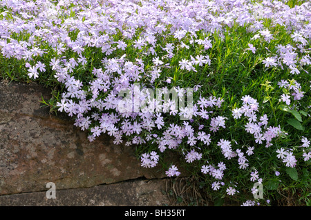 Phlox emerald cushion blue snoeien
