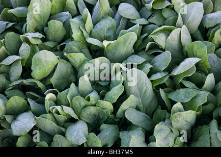 Spinach 'Baby Spinach' growing 'Spinacia oleracea'. - Stock Photo