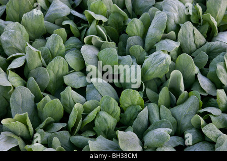 Spinach 'Baby Spinach' growing 'Spinacia oleracea' . - Stock Photo