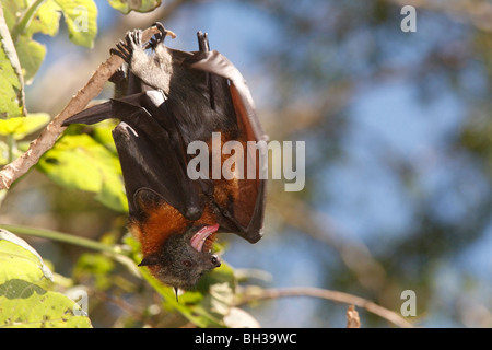 Grey Headed Flying Foxes, Pteropus poliocephalus. There is a juvenile tucked under the wing of the mother - Stock Photo