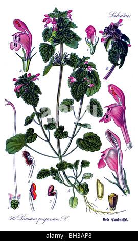 Red Deadnettle, Purple Deadnettle, or Purple Archangel, plant, plants - Stock Photo