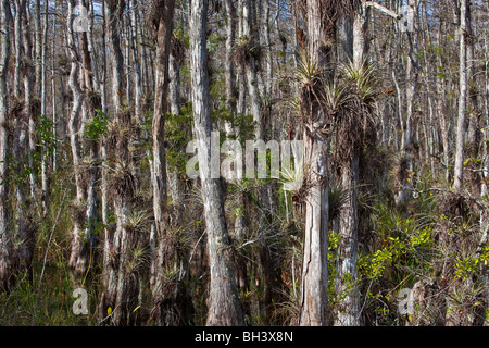 Epiphytes Growing on Bald Cypress, Big Cypress National Preserve Florida - Stock Photo