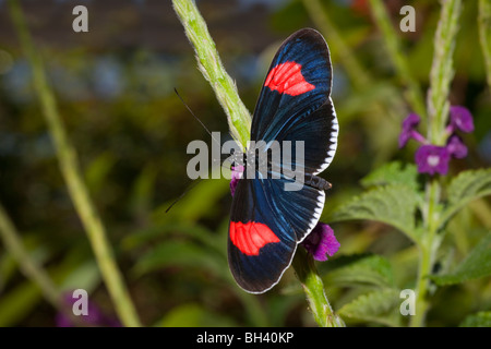 Brush-Footed Butterfly Heliconius Erato Cyrbia - Stock Photo
