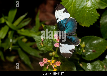Heliconius Sapho Butterfly from Costa Rica, is black and white but has an irridescent blue metalic sheen. - Stock Photo