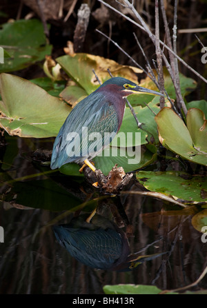 The Green Heron (Butorides virescens) is a small heron of North and Central America. - Stock Photo