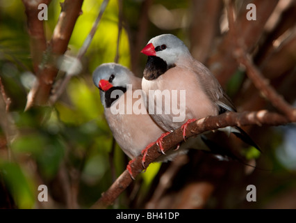 Shaft-tail Finch - Poephila acuticauda, Australia - Stock Photo