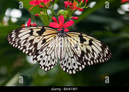 Tree Nymph (Idea leuconoe) Butterfly, Rice Paper Butterfly, Paper Kite Butterfly - Stock Photo