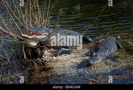 American Alligator, Everglades National Park Florida FL