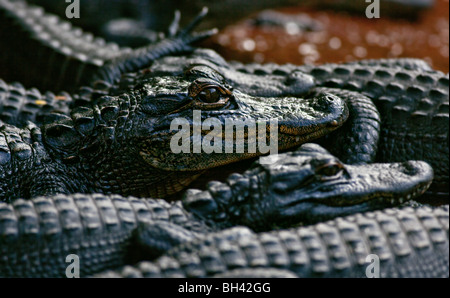 American Alligator Young - Stock Photo