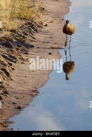Hammerkop (scopus umbretta) walking in watering hole reflected in water. - Stock Photo