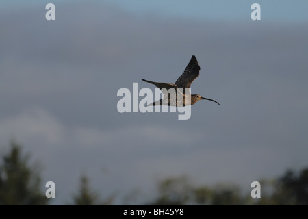 Curlew (Numenius arquata) in flight at sunset. - Stock Photo