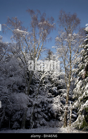 Birch and pine trees covered in snow on bright winters day. - Stock Photo