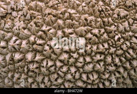 Common puff-ball (Lycoperdon perlatum). Close up image of surface texture. - Stock Photo