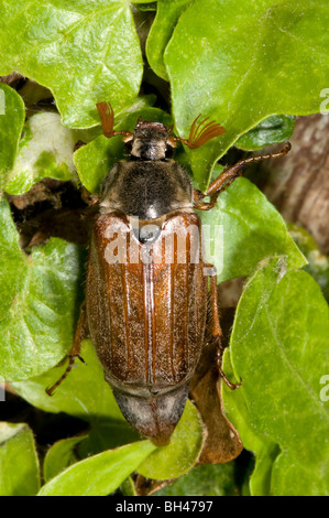 Cockchafer or may bug (Melolontha melolontha). Adult on leaves in garden.