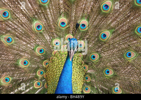 Male peacock showing off its colourful and vibrant feathers. - Stock Photo