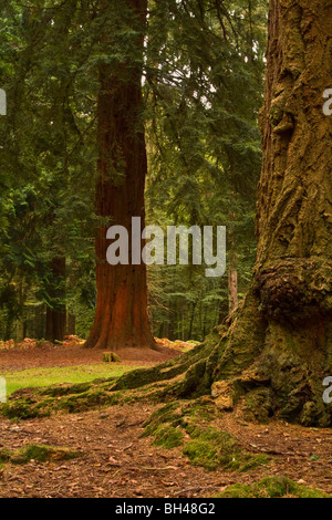 Woodland New Forest tree trunk Redwood tree background. - Stock Photo