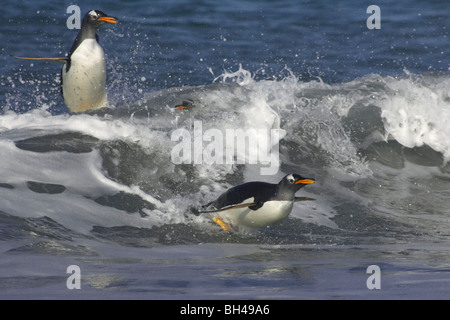 Gentoo penguins (Pygoscelis papua) leaping from the sea when coming ashore at Sea Lion Island. - Stock Photo