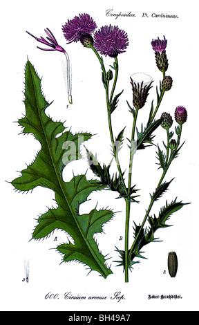 Creeping Thistle, plant, plants - Stock Photo