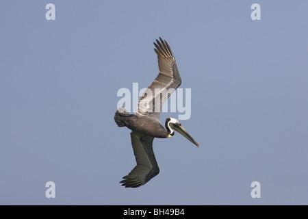 Brown pelican (Pelecanus occidentalis) diving for food at Fort de Soto. - Stock Photo