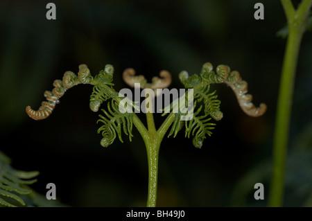 Bracken fern (Pteridium aqualinum) close-up. - Stock Photo