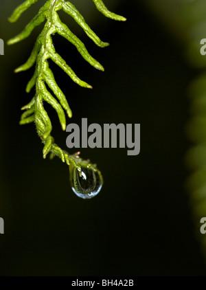 Water droplet on bracken fern (Pteridium aqualinum) . - Stock Photo