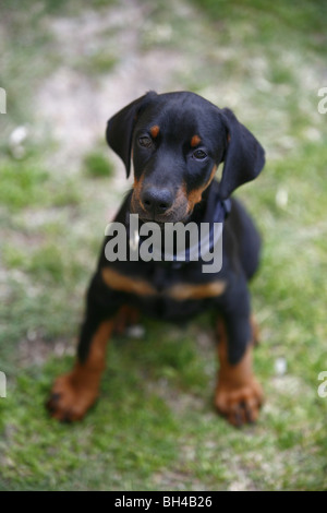 Dobermann Pinscher puppy - Stock Photo