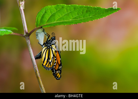 Monarch butterfly emerged from cocoon, empty chrysalis, pumping meconium from abdomen into wings, Nova Scotia. Series - Stock Photo