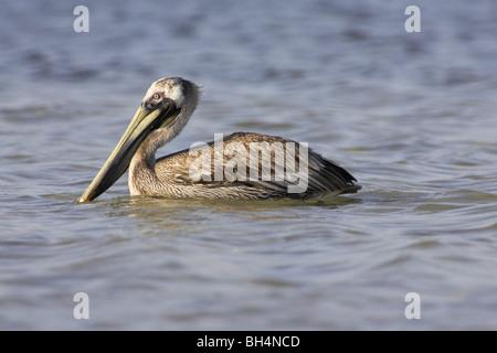 Brown pelican (Pelecanus occidentalis) on the sea around Fort de Soto. - Stock Photo