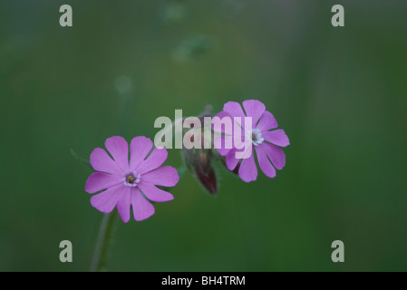 Red campion (Silene dioica) in forest. - Stock Photo