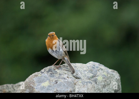 Curious looking robin (Erithacus rubecula) perching on stone. - Stock Photo