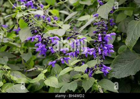Blue Anise Sage aka Brazilian Sage, Hummingbird Sage, Anise Scented Sage or Giant Blue Sage, Salvia guaranitica - Stock Photo