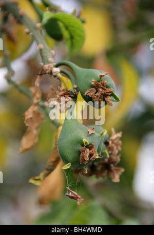 Fruit of the Rose Cactus, Pereskia grandifolia, Cactaceae, Brazil, South America syn. Cactus or Rhodocactus grandifolius, - Stock Photo