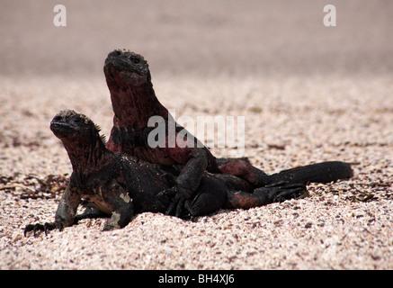 Pair of Galapagos marine iguana (Amblyrhynchus cristatus venustissimus) mating at Punta Suarez, Espanola Island. - Stock Photo