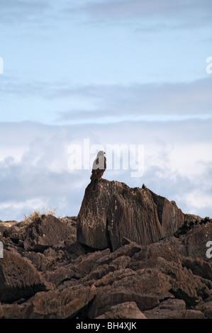 Galapagos hawk (Buteo galapagoensis) sitting on rocks at Punta Suarez, Espanola Island. - Stock Photo