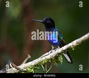Velvet-purple coronet hummingbird (Boissonneaia jardini) perched on branch in Mindo. - Stock Photo