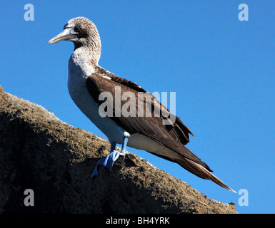 Blue footed booby (Sula nebouxii excisa) standing on rocks at Puerto Egas, Santiago Island. - Stock Photo