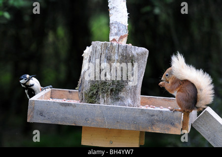 Great-spotted woodpecker (Dendrocopus major) and red squirrel (Sciurus vulgaris) feeding from bird table. - Stock Photo