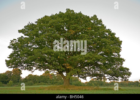 Big, old oak tree (common oak, English oak, Quercus robur) still with green leaves in the fall in a winter crops - Stock Photo