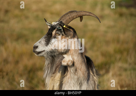 Close up of billy goat in a field - Stock Photo