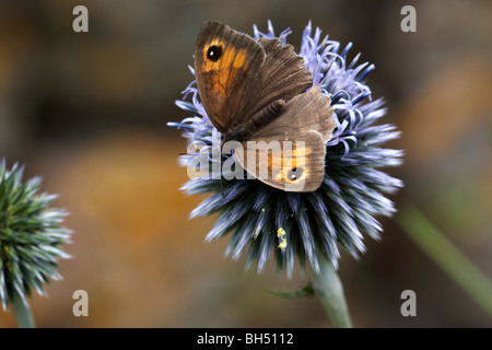 Meadow brown butterfly (Maniola jurtina) feeding on globe thistle (Echinops). - Stock Photo