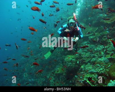 Scuba diver amongst schools of anthias fish, Komodo Marine Park, Indonesia. No MR or PR - Stock Photo