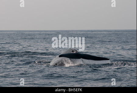 Blue Whale Sounding, tail lifting Balaenoptera musculus brevicauda – comes to the surface of Indian Ocean, off Sri - Stock Photo