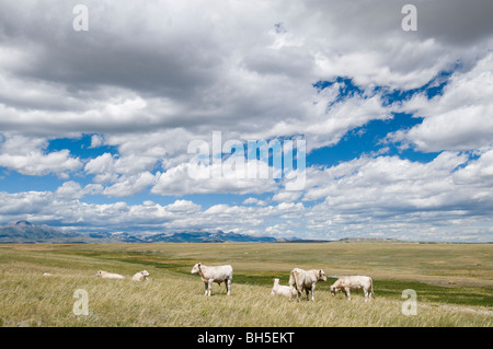 Charloais cattle on the Rocky Mountain Front - Stock Photo