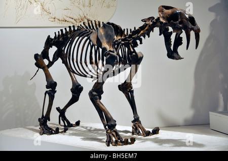 Saber tooth cat (smilodon fatalis) skeleton at Panhandle ...