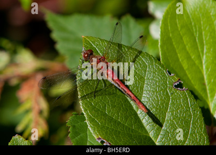 Cherry-faced Meadowhawk Sympetrum internum on a leaf at McGregor Marsh Nanaimo Vancouver Island BC Canada in August - Stock Photo