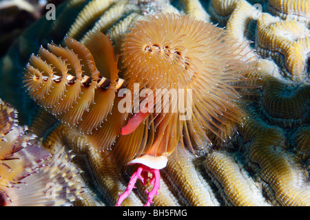 Christmas tree worm attached to a surface of brain coral polyps, showing dual spiral structure with feather-like - Stock Photo