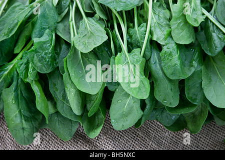 Harvested 'Baby Spinach' (Spinacia oleracea) - Stock Photo