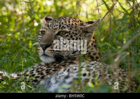 Leopard (Panthera pardus), Masai Mara National Reserve, Kenya. - Stock Photo